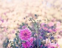 Härliga rosa dahlior Fotografering för Bildbyråer