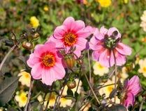 Härliga rosa dahlior Arkivfoto