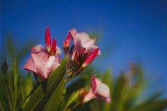 Härliga rosa exotiska blommor med saftiga gröna sidor på en bakgrund för blå himmel close upp royaltyfria foton