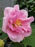 Härliga rosa färg arkivbild