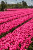 Härliga rosa färg Arkivfoto