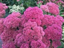 Härliga rosa färgblommor Arkivbilder
