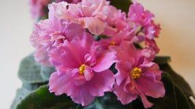 Härliga rosa färgblommor royaltyfria foton