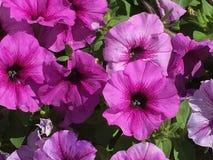 Härliga rosa färgblommor Fotografering för Bildbyråer