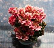 Härliga rosa färgblommor som används för garnering Arkivbild