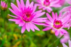Härliga rosa färger blommar i en suddighetsbakgrund med blommor rosa mor arkivfoto