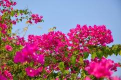 Härliga rosa färger blommar utomhus- av Thailand Arkivfoton