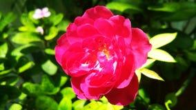 Härliga rosa färger färgar den rosa blomman med grön bakgrund Royaltyfria Foton