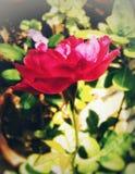 Härliga rosa färger färgar den rosa blomman med grön bakgrund Royaltyfria Bilder