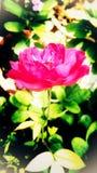 Härliga rosa färger färgar den rosa blomman med grön bakgrund Arkivfoton