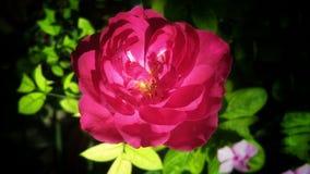 Härliga rosa färger färgar den rosa blomman med grön bakgrund Arkivbilder
