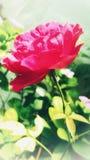 Härliga rosa färger färgar den rosa blomman med grön bakgrund Arkivbild