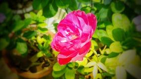 Härliga rosa färger färgar den rosa blomman med grön bakgrund Royaltyfri Foto