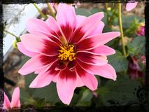 Härliga rosa färger och rött blommaslut upp Royaltyfri Foto