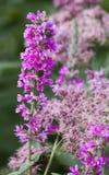 Härliga rosa färger per blommasommar Arkivfoton