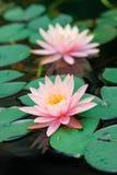 Härliga rosa färger waterlily eller lotusblommablomma i dammet Royaltyfri Bild