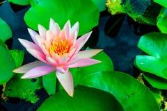 Härliga rosa färger waterlily eller lotusblommablomma i dammet Royaltyfria Bilder