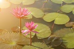 Härliga rosa färger waterlily i det naturliga dammet med den varma ljusa signalljuset Royaltyfri Bild