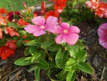 Härliga rosa färgträdgårdblommor Royaltyfria Foton