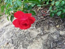 Härliga rosa färgträdgårdblommor Arkivbilder