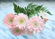 Härliga rosa gerberas Royaltyfri Bild