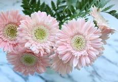 Härliga rosa gerberas Royaltyfri Foto