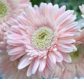 Härliga rosa gerberas Fotografering för Bildbyråer