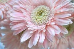 Härliga rosa gerberas Royaltyfri Fotografi