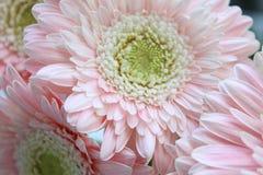 Härliga rosa gerberas Arkivfoto