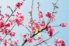 Härliga rosa körsbärsröda blomningar i trädgård arkivfoton