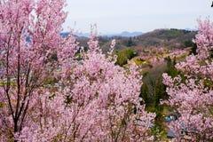 Härliga rosa körsbärsröda blomningar på kullen, Hanamiyama parkerar, Fukushima, Tohoku, Japan royaltyfri foto