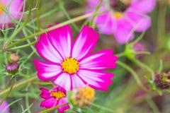 Härliga rosa kosmos blommar att blomma i vårdag vid makro Royaltyfri Fotografi