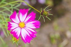 Härliga rosa kosmos blommar att blomma i vårdag vid makro Fotografering för Bildbyråer