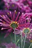 Härliga rosa krysantemum som blommar i trädgården Arkivfoton