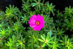 Härliga rosa lilla Hogweed Arkivfoto