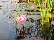 Härliga rosa Lotus, rosa näckros, natur Royaltyfria Foton