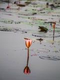 Härliga rosa Lotus, rosa näckros, natur Arkivbild