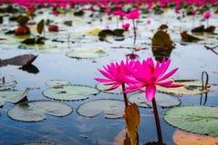 Härliga rosa lotusblommablommor Arkivfoton