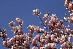 Härliga rosa magnoliablommor Arkivfoton