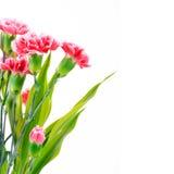 Härliga rosa nejlikablommor, gränsdesign med kopieringsutrymme Arkivfoton