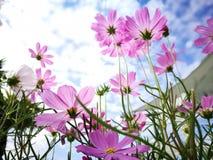 Härliga rosa och vita kosmos blommar blå himmel för againt i den nya solskendagen Arkivfoton