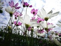 Härliga rosa och vita kosmos blommar blå himmel för againt i den nya solskendagen Royaltyfri Foto