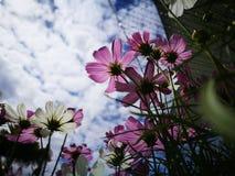 Härliga rosa och vita kosmos blommar blå himmel för againt i den nya solskendagen Arkivbilder