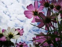 Härliga rosa och vita kosmos blommar blå himmel för againt i den nya solskendagen Royaltyfri Bild