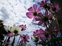 Härliga rosa och vita kosmos blommar blå himmel för againt i den nya solskendagen Royaltyfria Bilder