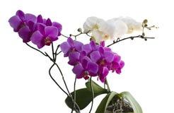 Härliga rosa och vita orkidér Arkivfoto