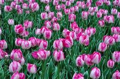 Härliga rosa och vita tulpan Rosa tulpan i trädgården Royaltyfri Fotografi