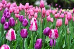 Härliga rosa och vita tulpan Rosa tulpan i trädgården Royaltyfri Bild