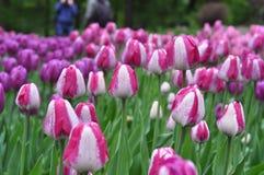 Härliga rosa och vita tulpan Rosa tulpan i trädgården Arkivfoton