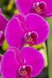 Härliga rosa orkidér med en grön bakgrund arkivbild